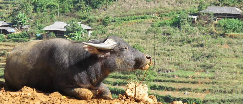 Water buffalo on the market