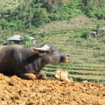 Water buffalo on the market